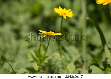 Beautiful yellow daisies growing in a spring garden. Yellow spring flowers like a little sun. #1384860617