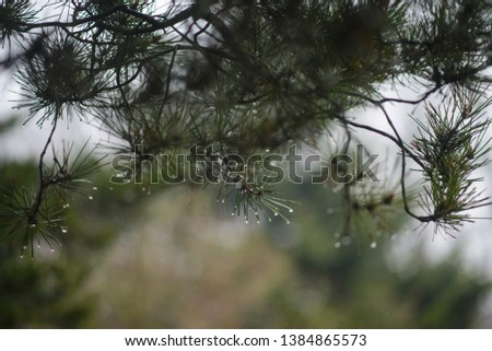 raindrops on green pine branches #1384865573