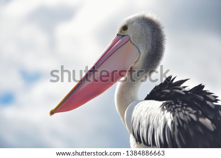 Great white pelican also known as the eastern white pelican, rosy pelican or white pelican. Pelecanus onocrotalus Royalty-Free Stock Photo #1384886663