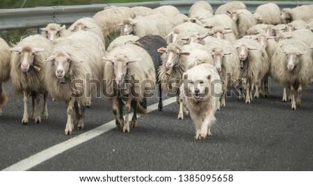 Sardinian Shepherd Dog or Fonni's Dog herding sheep across the roads of rural Northern Sardinia, Italy #1385095658