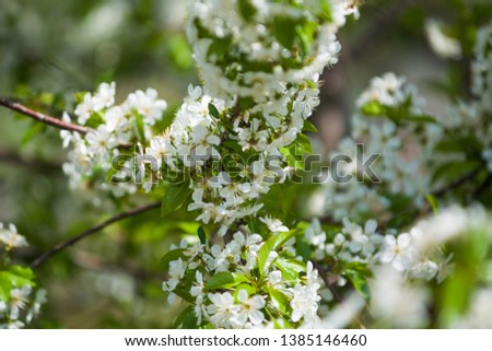 White blossomings on apple-tree branches in sunny and spring day in a garden. Fruit-tree. Small flowers. Background #1385146460