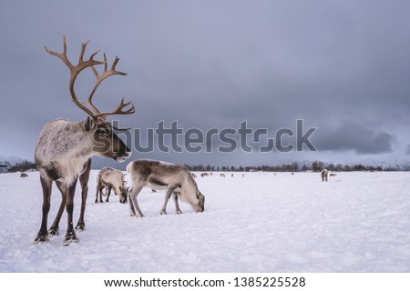 Portrait of a reindeer with massive antlers pulling sleigh in snow, Tromso region, Northern Norway Royalty-Free Stock Photo #1385225528