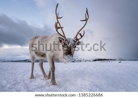 Portrait of a reindeer with massive antlers pulling sleigh in snow, Tromso region, Northern Norway Royalty-Free Stock Photo #1385226686