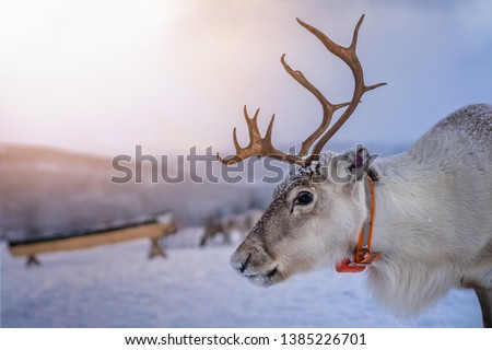 Portrait of a reindeer with massive antlers pulling sleigh in snow, Tromso region, Northern Norway Royalty-Free Stock Photo #1385226701