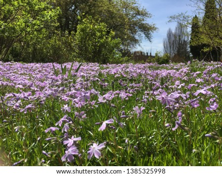 A bed of lavender flowers in a beautiful garden in Oyster Bay, Long Island, NY. Royalty-Free Stock Photo #1385325998