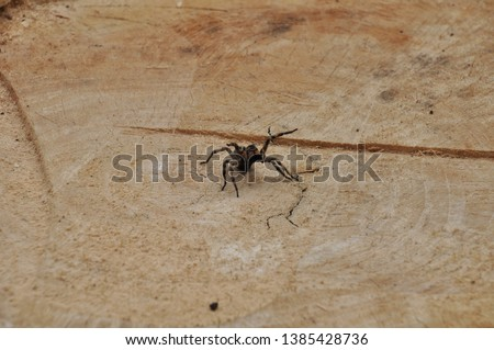 Gray spiderю on the background of a large tree. The spider is calm and does not show aggression.
