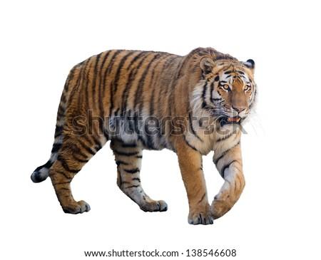 large tiger isolated on white background #138546608