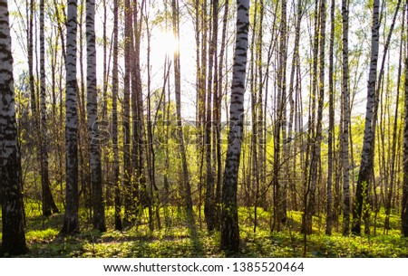 The forest of young birch in spring. #1385520464