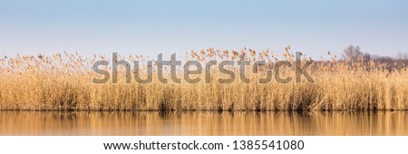 Reed at the lake of the sewage fields #1385541080
