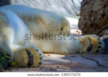 Detail picture of foot of polar bear. The polar bear (Ursus maritimus) is a hypercarnivorous bear whose native range lies largely within the Arctic Circle. It is a largest bear.