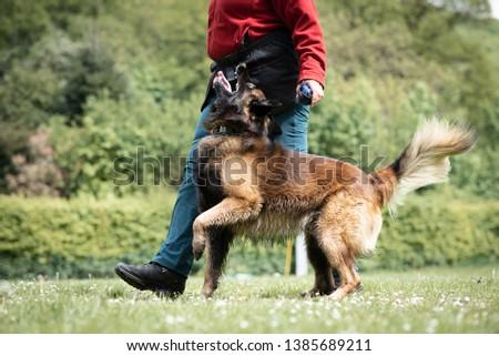 Tervuren shepherd obedience dog sport  #1385689211