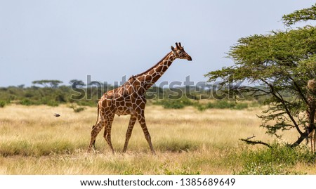 One giraffe walk through the savannah between the plants  #1385689649