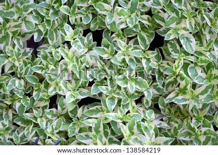 Peperromia emerald ripple plant #138584219