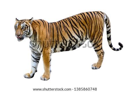 tiger White background Isolate full body #1385860748