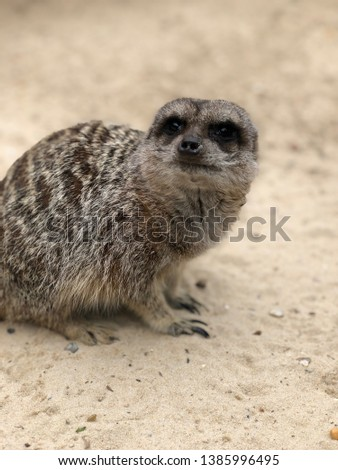 Meerkats siting  on sand #1385996495