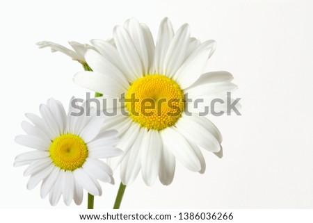 beautiful wild daisy white flower blooming #1386036266