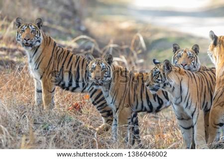 Bengal Tiger (Panthera tigris tigris) at Pench National Park, India #1386048002