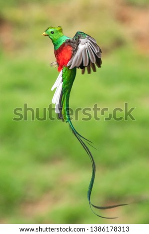 Resplendent Quetzal in Costa Rica Rainforest  #1386178313
