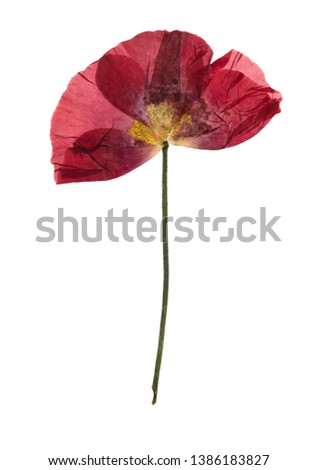 Pressed and dried flower poppy, isolated on white background. For use in scrapbooking, floristry or herbarium. #1386183827