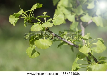 Ginko biloba. Young Ginko biloba tree with leaves. Ginko biloba leaf. Floral pattern. Smart herbal concept. Close up. Copy space.  #1386246086