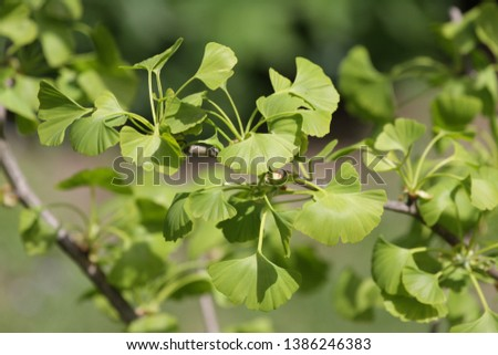 Ginko biloba. Young Ginko biloba tree with leaves. Ginko biloba leaf. Floral pattern. Smart herbal concept. Close up. Copy space.  #1386246383