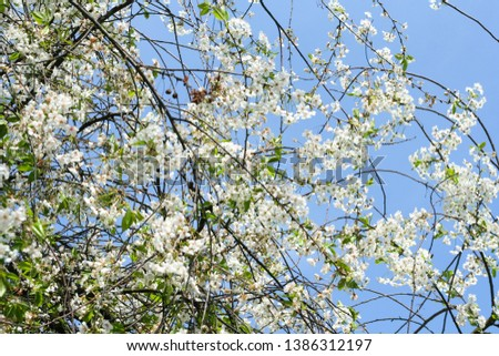 Flowering spring tree. A branch of blossoming cherry on a blue sky background #1386312197