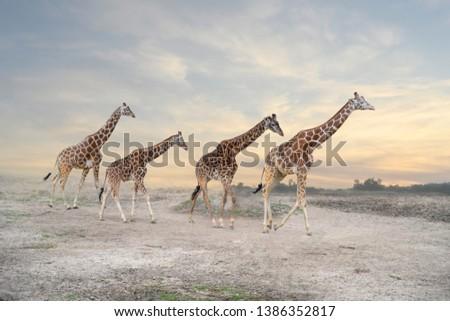 herd of giraffes, giraffe family #1386352817