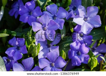 Purple blue flowers of periwinkle (vinca minor) in spring garden. Vinca minor L. - dwarf periwinkle, small periwinkle, common periwinkle, myrtle, creeping myrtle #1386376949