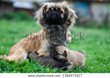 Portrait of pekingese sits on the grass with children #1386471827