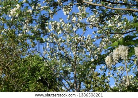 False acacia (Robinia pseudoacacia) with white flowers #1386506201
