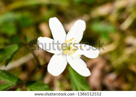 Close up of wood anemone flower in forest. #1386512552