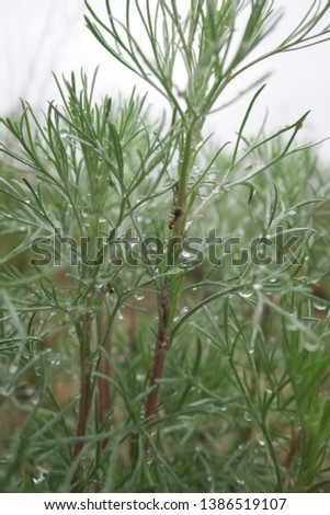 Ants on the wormwood plant covered with dew drops #1386519107