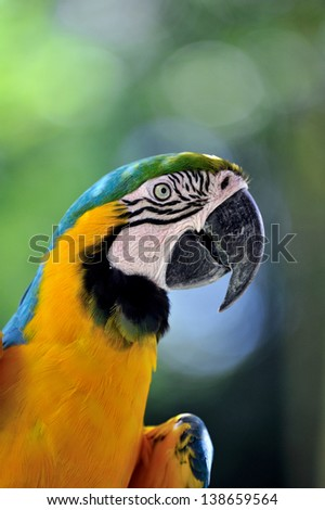 Blue-and-yellow Macaw #138659564