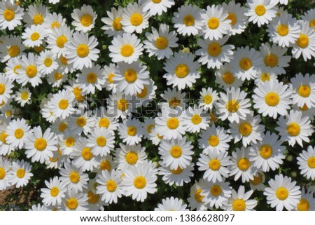 Daisy flower garden full bloom plant