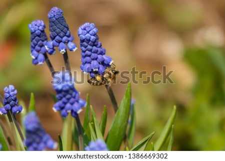 Common grape hyacinth Muscari botryoides in full bloom. #1386669302