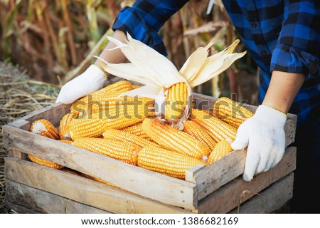 Corn or Maize for processing into fodder. Harvest maize. Corn grain. Natural food. Maize on the farmers farm after harvest. #1386682169