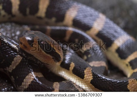 Common puff-faced water snake (Homalopsis buccata), banded water snake, or banded puff-faced water snake. #1386709307
