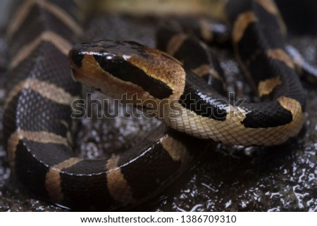 Common puff-faced water snake (Homalopsis buccata), banded water snake, or banded puff-faced water snake. #1386709310