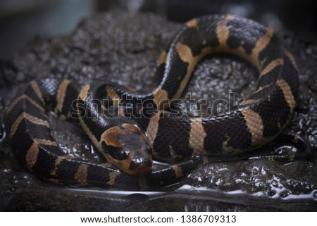 Common puff-faced water snake (Homalopsis buccata), banded water snake, or banded puff-faced water snake. #1386709313