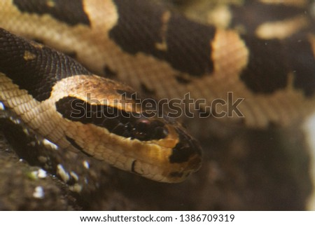 Common puff-faced water snake (Homalopsis buccata), banded water snake, or banded puff-faced water snake. #1386709319
