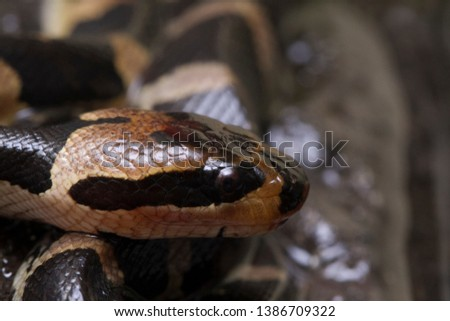 Common puff-faced water snake (Homalopsis buccata), banded water snake, or banded puff-faced water snake. #1386709322