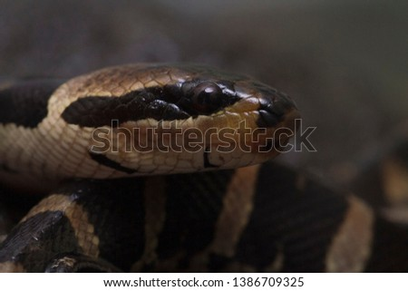 Common puff-faced water snake (Homalopsis buccata), banded water snake, or banded puff-faced water snake. #1386709325