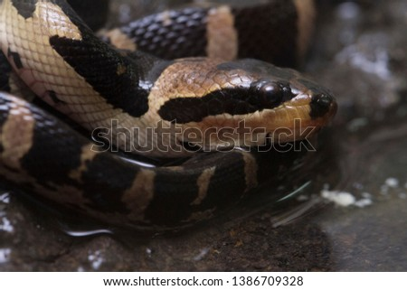 Common puff-faced water snake (Homalopsis buccata), banded water snake, or banded puff-faced water snake. #1386709328