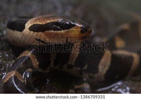 Common puff-faced water snake (Homalopsis buccata), banded water snake, or banded puff-faced water snake. #1386709331