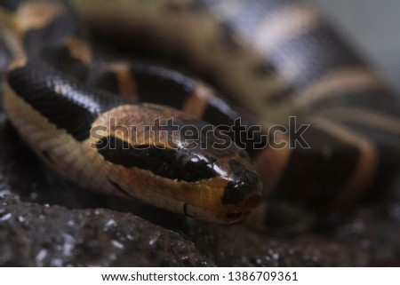 Common puff-faced water snake (Homalopsis buccata), banded water snake, or banded puff-faced water snake. #1386709361