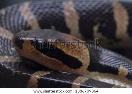 Common puff-faced water snake (Homalopsis buccata), banded water snake, or banded puff-faced water snake. #1386709364