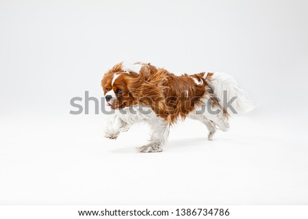 Spaniel puppy playing in studio. Cute doggy or pet is running isolated on white background. The Cavalier King Charles. Negative space to insert your text or image. Concept of movement, animal rights. #1386734786