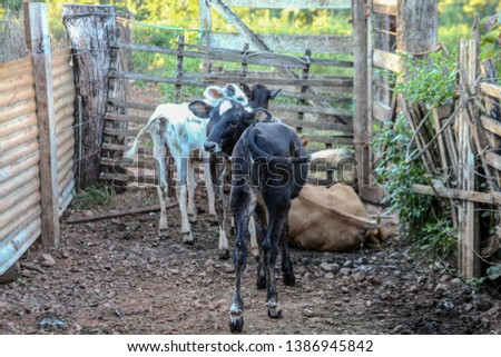 extensive cattle, dairy cattle, beef cattle, loose cattle, flock with freedom of space, pasture, late afternoon landscape in a rural property, livestock in the corral. #1386945842