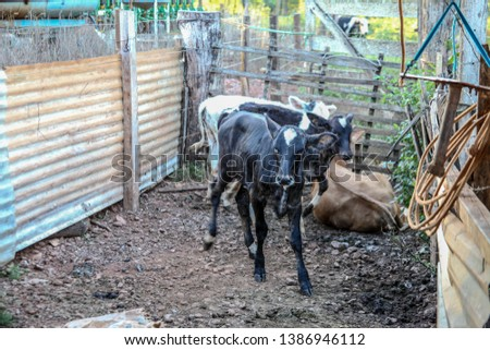 extensive cattle, dairy cattle, beef cattle, loose cattle, flock with freedom of space, pasture, late afternoon landscape in a rural property, livestock in the corral. #1386946112