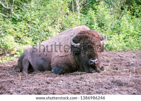 Picture of a bison lying down in Elk Island National Park, Alberta, Canada.